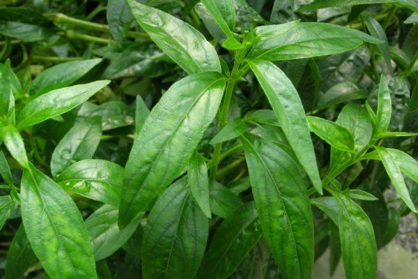 Manfaat Sambiloto Untuk Herbal Alami
