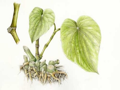 Manfaat Herbal Kava Kava Untuk Kesehatan Paling Jitu